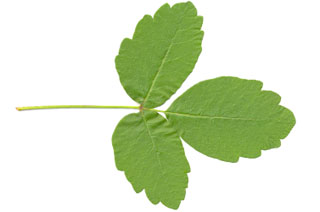 poison-oak-leaf